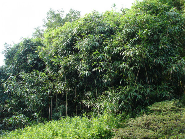 Pseudosasa japonica, Pfeil-Bambus