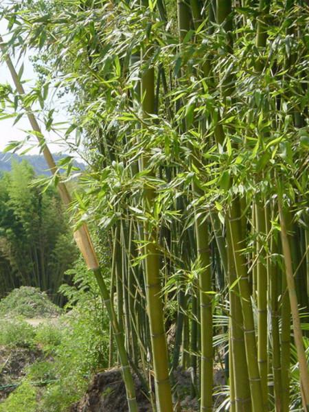 Phyllostachys decora, 'Schöner' Bambus, Pracht-Bambus