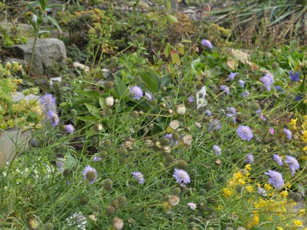 Scabiosa columbaria 'Butterfly Blue', Taubenskabiose