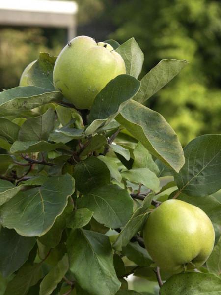 Riesenquitte von Leskovac, Apfelquitte