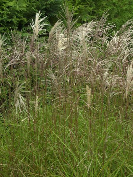 Miscanthus sinensis 'Graziella', Feinhalmiges China-Schilf