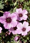 geranium-ballerina56d98e7f7658c