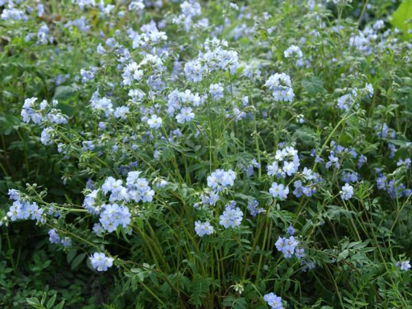 Polemonium reptans 'Blue Pearl', Jakobsleiter, Himmelsleiter, Sperrkraut