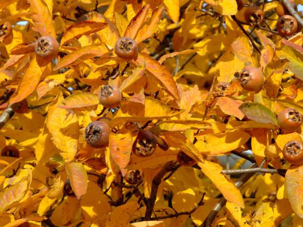 Mespilus germanica, Mispel