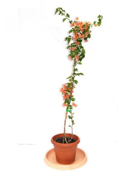 Bougainvillea Hybride 'orange', großblättrige Bougainvillea