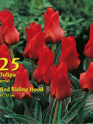 Greigii-Tulpe 'Rotkäppchen' (Großpackung) (Art.Nr. 597810)