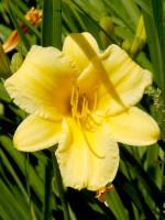Hemerocallis x cultorum 'Stella d'Oro', Garten-Taglilie