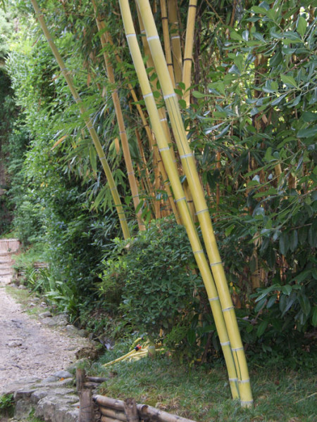 Phyllostachys vivax aureocaulis, Zauber-Bambus