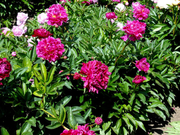 Paeonia lactiflora 'Karl Rosenfield', Edel-Pfingstrose