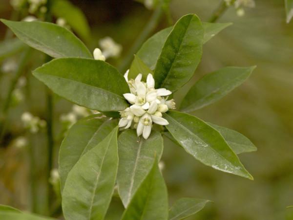 Clementine, Citrus × aurantium