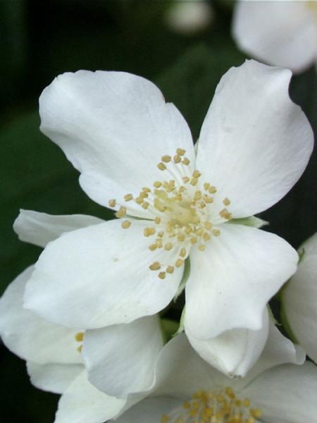 Bauernjasmin Einzelblüte
