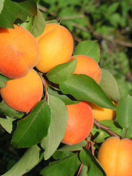 Aprikose Mombacher Frühe
