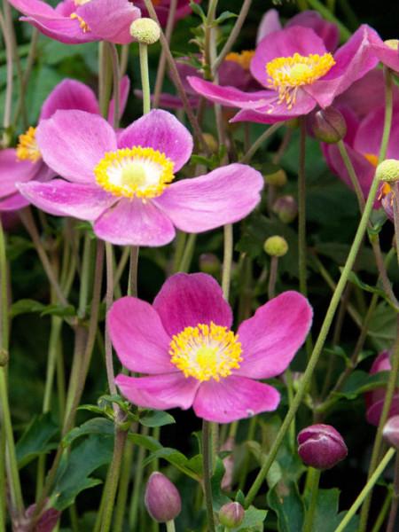 Blütenpracht der Herbstanemone 'Pretty Lady Diana'