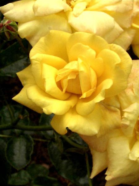 Blüte der Rose Goldfassade