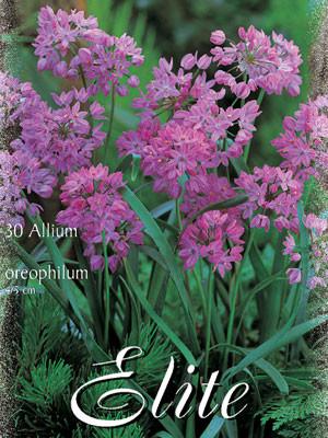 Allium 'Oreophilum' (Art.Nr. 596328)