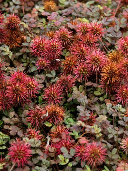 Rote Blüte des Stachelnüsschens 'Kupferteppich'