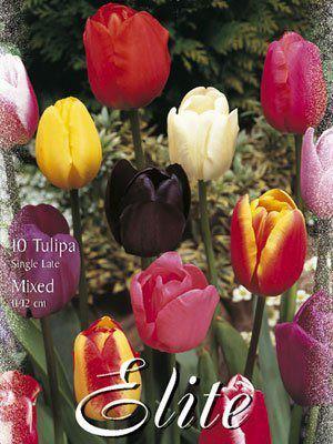 Einfache späte Tulpen-Prachtmischung (Art.Nr. 595376)