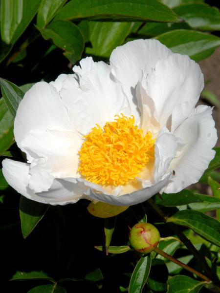 Paeonia x lactiflora 'Krinkled White', Edel-Pfingstrose