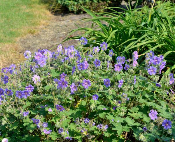 Geranium renardii 'Terre Franche', Kaukasus-Strochschnabel