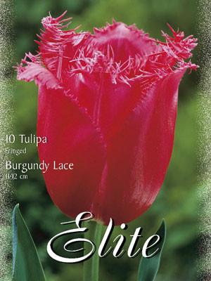 Gefranste Tulpe 'Burgundy Lace' (Art.Nr. 595510)