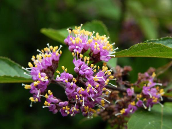 Blüte der Schönfrucht