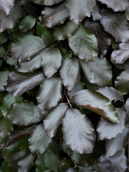 Fagus sylvatica 'Purpurea Pendula', Schwarzrote Hängeblutbuche