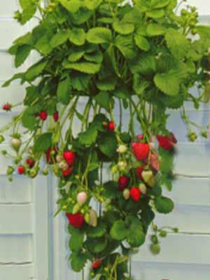 Erdbeere 'Diamant' (Selva)