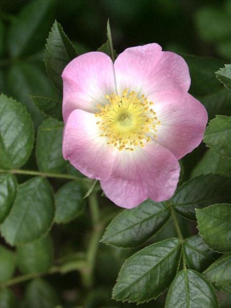 Rosa rubiginosa, Weinrose