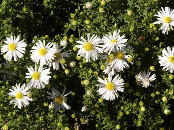 Aster dumosus 'Apollo', Weiße Kissen-Aster, Herbst-Aster