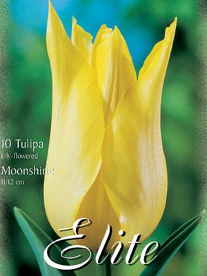 Lilienblütige Tulpe 'Moonshine' (Art.Nr. 595476)