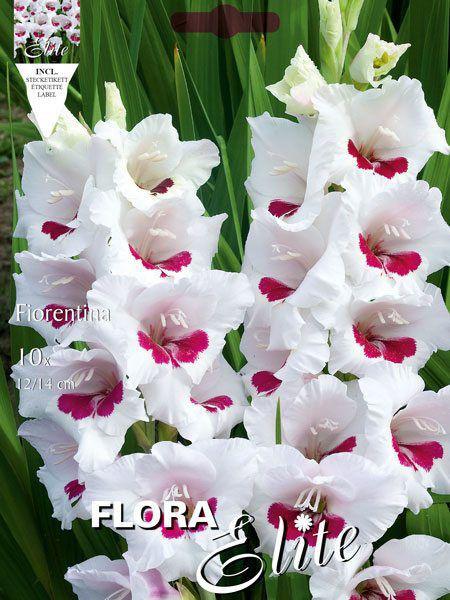 Großblumige Gladiole 'Fiorentina', Gladiolus (Art.Nr. 521259)