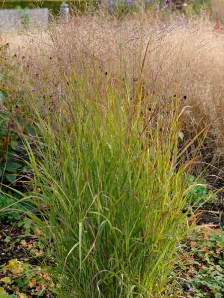 Panicum virgatum 'Shenandoah' (M), Purpurne Ruten-Hirse