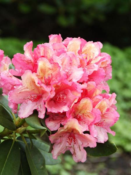Rhododendron 'Brasilia'