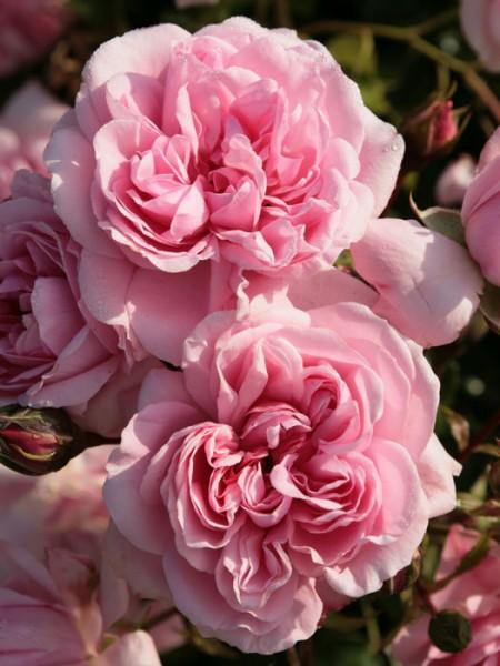 Blüte der Rose Home and Garden