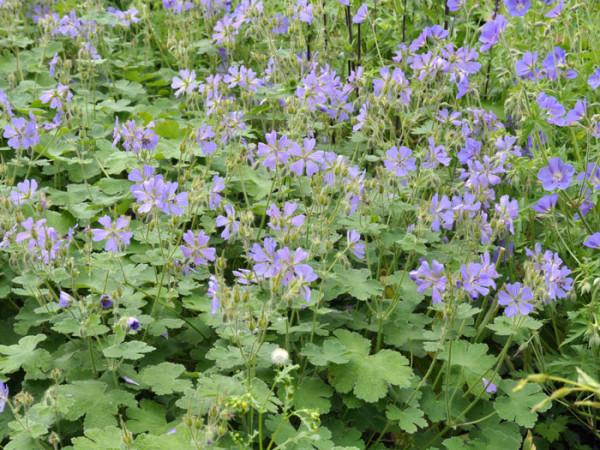 Geranium renardii 'Philippe Vapelle', Kaukasus-Strochschnabel