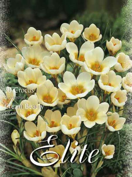 Frühjahrsblühender Krokus 'Cream Beauty' (Art.Nr. 596202)