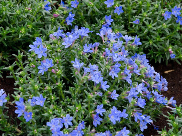 Lithodora diffusa 'Heavenly Blue', Südlicher Steinsame, blauer Steinsame