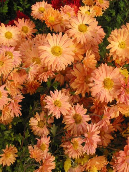 Chrysanthemum x hortorum 'Kleiner Bernstein', Winteraster, Herbst-Chrysantheme