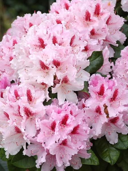 Rhododendron 'Progres'