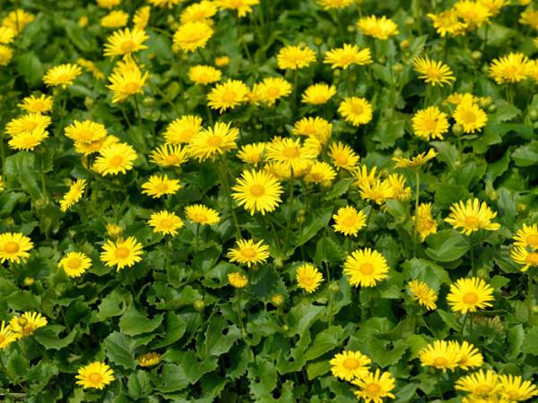 Doronicum orientale 'Little Leo', Gemswurz, Kaukasus-Gämswurz