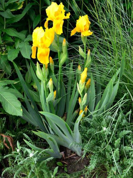 Iris x barbata-elatior 'Ola Kala', Hohe Garten-Schwertlilie, hohe Bart-Iris