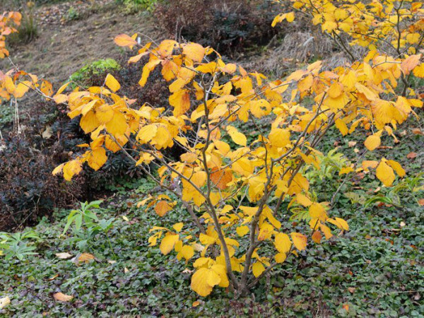 Herbstfärbung der Zaubernuss 'Aphrodite'