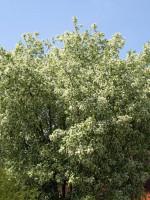 Prunus padus, Traubenkirsche
