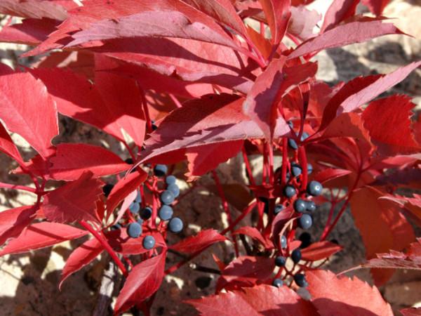 Blatt und Beeren des Wilden Weins im Herbst
