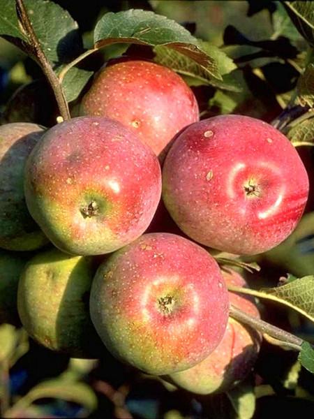 Üppiger Fruchtbehang beim Apfel 'Florina'