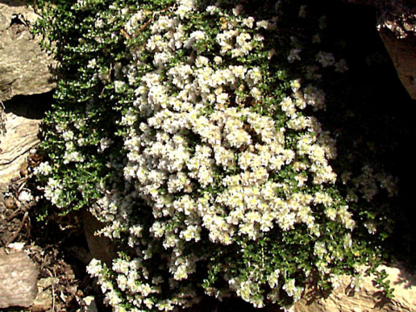 Paronychia serpyllifolia (kapela), Mauermiere, thymianblättriges Nagelkraut