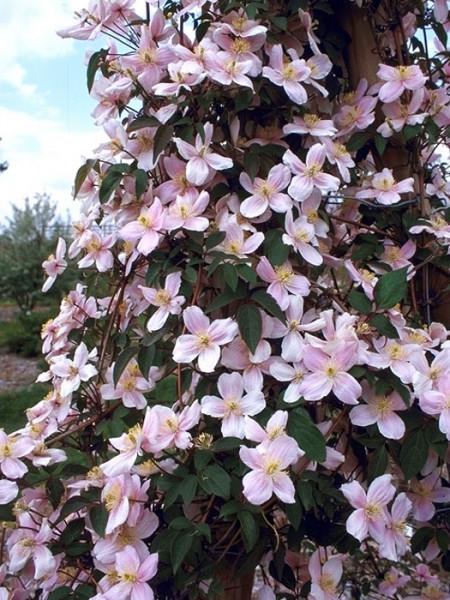 Blüte der Clematis 'Mayleen'