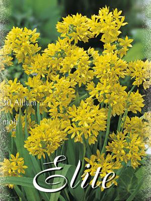 Allium 'Moly' (Art.Nr. 596320)