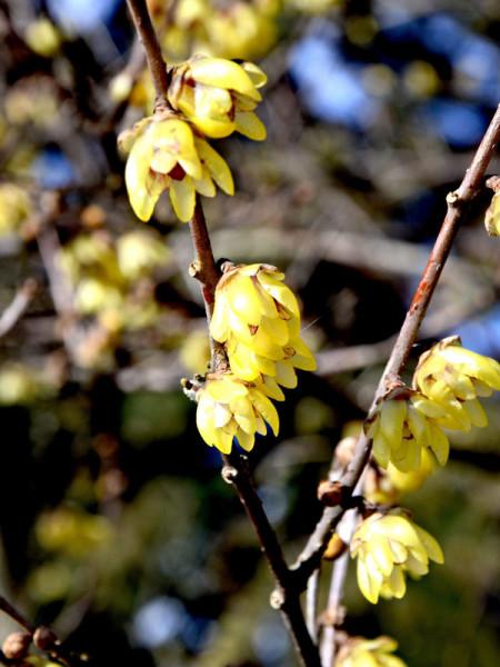 Chimonanthus praecox, Chinesische Winterblüte