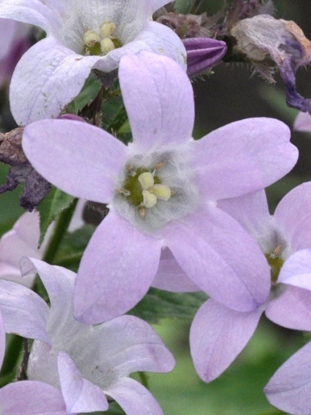 Campanula lactiflora 'Loddon Anne', Große Doldenglockenblume, Gartenglockenblume